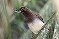 Brown Jay ((Psilorhinus morio)) (7222929214).jpg