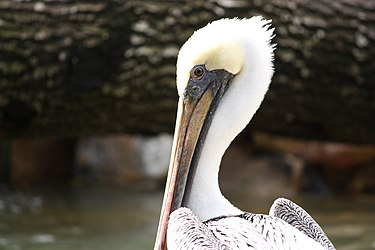 Brown Pelican in Punta Gorda, Florida closeup.jpg