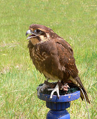 Brown falcon whole body444.jpg