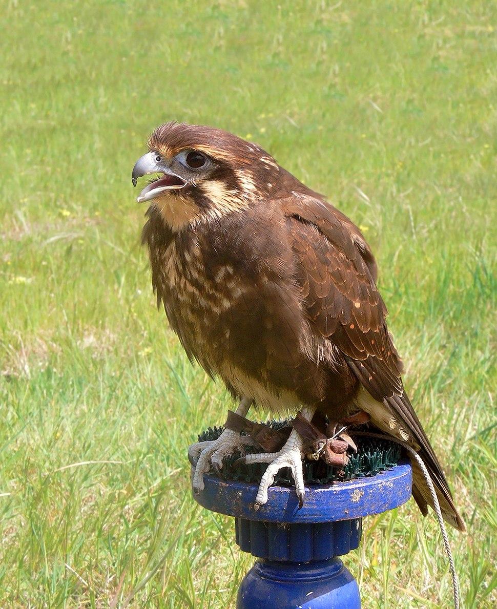 Brown falcon whole body444