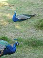 Brownsea Island, a brace of peacocks - geograph.org.uk - 1446279.jpg