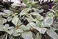 Brugmansia Sunray 8zz.jpg