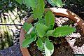 Bryophyllum pinnatum 02.JPG