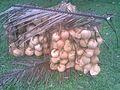 Buah kelapa - panoramio.jpg