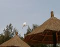 Bubulcus ibis 0039.jpg