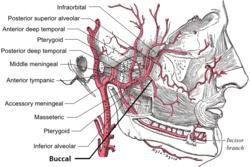 Buccal artery.png