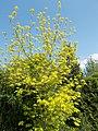 Buda Arboreta. Lower Garden, Acer negundo 'Kelly's Gold', 2016 Újbuda.jpg