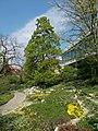 Buda Arboreta. Upper garden. Mongolian lime and its area. - Budapest.JPG