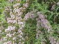 Buddleia alterifolia1.jpg