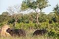 Buffaloes corner leopard up a tree (7281600278).jpg