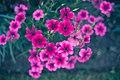 Bunch Of Wild Pink Flowers (184195157).jpeg