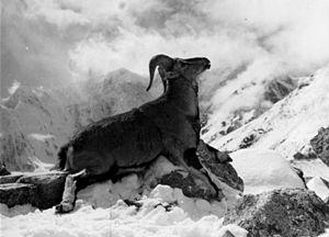Dwarf blue sheep - Image: Bundesarchiv Bild 135 S 06 24 35, Tibetexpedition, Erlegter Blauschafwidder