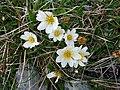 Burren Flora 01 Mountain Avens (3586050338).jpg