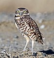 Burrowing Owl (19752823735).jpg