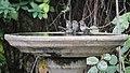 Bushtits at the birdbath (38317266256).jpg