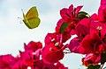 Butterfly-Bougainvillea.jpg