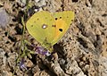 Butterfly Clouded Yellow - Colias croceus.jpg