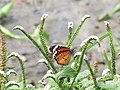 Butterfly near apond of MIRPUR BOTANICAL GARDEN.jpg