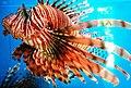 Cá mao tiên (cá sư tử Nha Trang 6).jpg