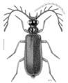 COLE Pyrochroidae Exopalpus.png
