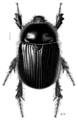 COLE Scarabaeidae Adoryphorus couloni 1.png