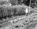 COLLECTIE TROPENMUSEUM Groententuin van de Middelbare Landbouwschool te Buitenzorg TMnr 10013225.jpg