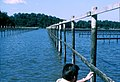 CSIRO ScienceImage 1665 Oyster farm.jpg