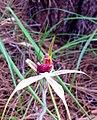 Caladenia ensata - cropped.jpg