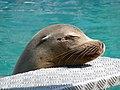 California Sea Lion.JPG