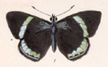 Callicore Neglecta (upperside).png