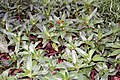 Callisia fragrans 0zz.jpg