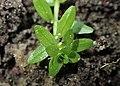 Callitriche cophocarpa kz01.jpg