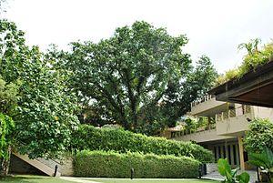 Calophyllum inophyllum - Heritage tree, Penaga Laut (Calophyllum inophyllum) at Singapore Botanic Gardens