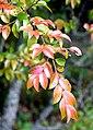 Camellia lutchuensis in Auckland Botanic Gardens 03.jpg