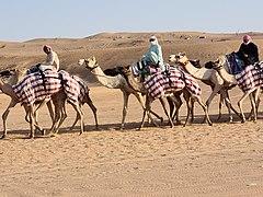 Camels at Labsah.jpg