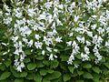 Campanula latifolia alba - Flickr - peganum (2).jpg