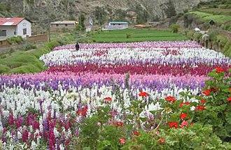 Tarma - Image: Campiña de flores panoramio