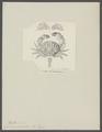 Cancer granulatus - - Print - Iconographia Zoologica - Special Collections University of Amsterdam - UBAINV0274 094 14 0005.tif