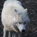 Canis lupus arctos IMG 9114.jpg