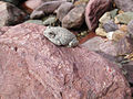 Canyon Treefrog in Mazatzal.jpg