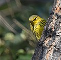 Cape May Warbler (37700903211).jpg