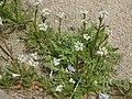 Capsella bursa-pastoris 1.JPG