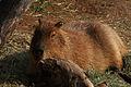 Capybara (4231977720).jpg