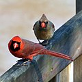 Cardinals (5651006017).jpg