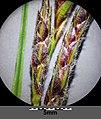 Carex hirta sl20.jpg
