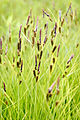 Carex stricta.jpg