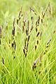 Carex stricta.jpg