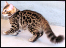 86f6591c52 Cashmere Bengal (long-haired) edit