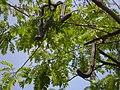 Cassia grandis fruit.jpg