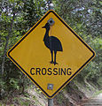 Cassowary crossing.jpg